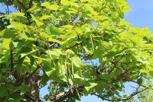 A photo of a Catalpa tree.